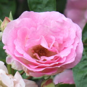 Link to the new plants added April 17, 2020 - Image of Rosa 'Tausendshon'