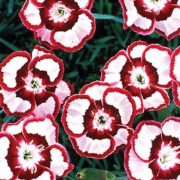 Link to the new plants added April 19, 2019 - Image of Dianthus 'Devon Siskin'
