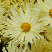 Link to the new plants added April 23, 2021 - Image of Chrysanthemum 'Gesthesemene Moonlight'