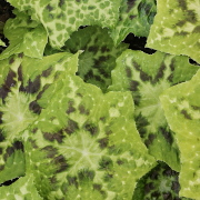 Link to the new plants added April 3, 2020 - Image of Podophyllum 'Galaxy'