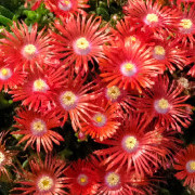 Link to the new plants added Aug 6, 2021 - Image of Delosperma dyeri