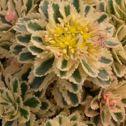 Link to the new plants added February 14, 2020 - Image of Sedum 'Atlantis'