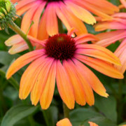 Link to the new plants added January 29, 2021 - Image of Echinacea 'Rainbow Marcella'