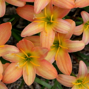 Link to the new plants added March 20, 2020 - Image of Zephyranthes 'Batik'