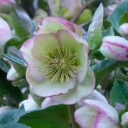 Link to the new plants added May 28, 2021 - Image of Helleborus 'Glenda's Gloss'